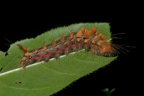 Yellow Haired Dagger Moth Caterpillar - Acronicta impleta