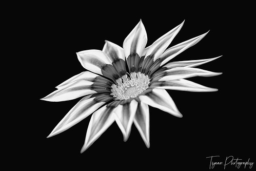 A View Of  Gazania Flower In Black And White Version On Black Back Ground