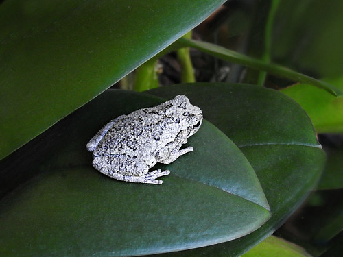 Hylidae: Hyla versicolor - Eastern Gray Tree Frog