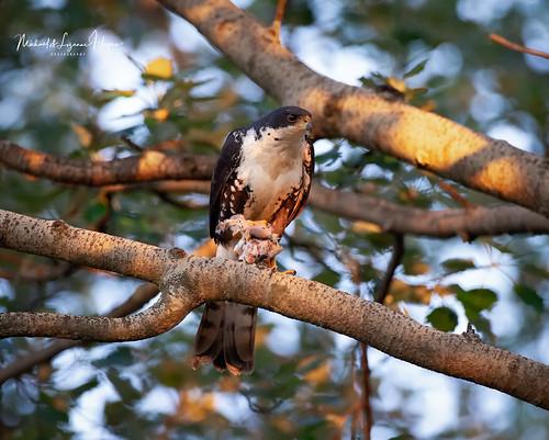 Black Sparrowhawk with kill