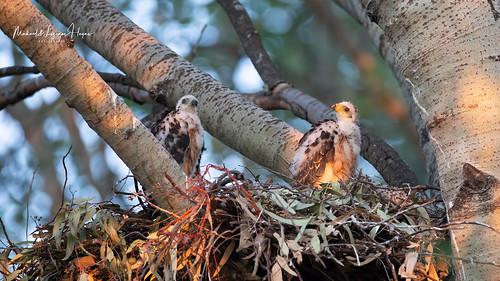 Black Sparrowhawk chicks
