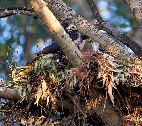 Black Sparrowhawk feeding Chick