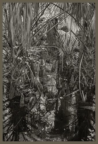 Lake Woodruff NWR IR #1 2019; Cypress Swamp with Palms