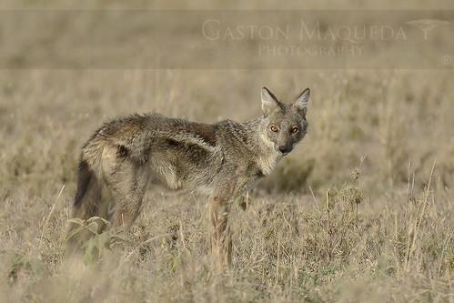 Chacal De Flancos Rayados - Side Stripped Jackal - Serengeti NP - Tanzania
