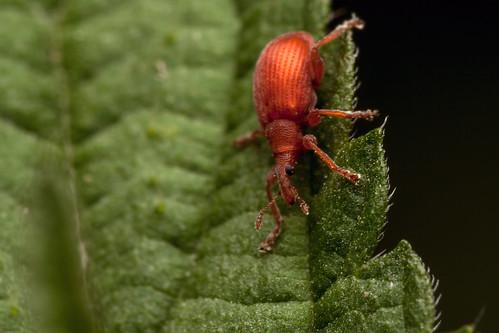 Inner Glow Weevil - _TNY_1747