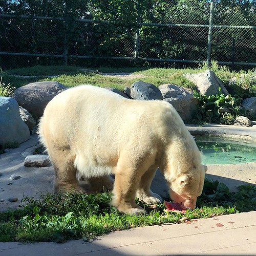 polar bear eating a water melon , they don't seem to like the rind