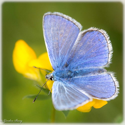Common Blue Butterfly 14-July-19 G  006