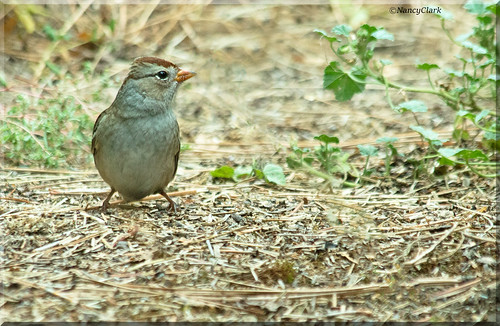 Juvenile White-crowned Sparrow (Zonotrichia leucophrys)