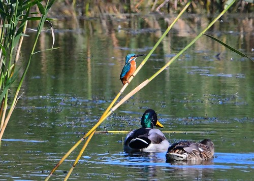 Kingfisher with Mallards.