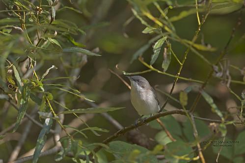 Lesser Whitethroat Bigiarella Sylvia curruca