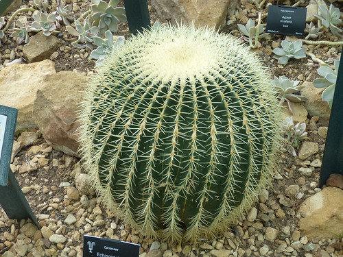 Birmingham Botanical Gardens: Heritage Open Day for Birmingham Heritage Week - Arid House - Golden barrel cactus