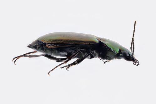 Carabid beetle with mites - Poecilus scitulus