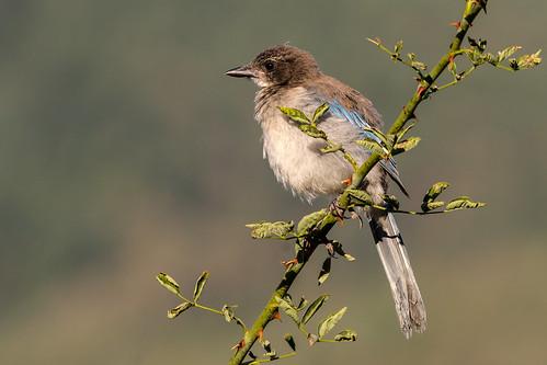 California Scrub-Jay (Aphelocoma californica) Immature
