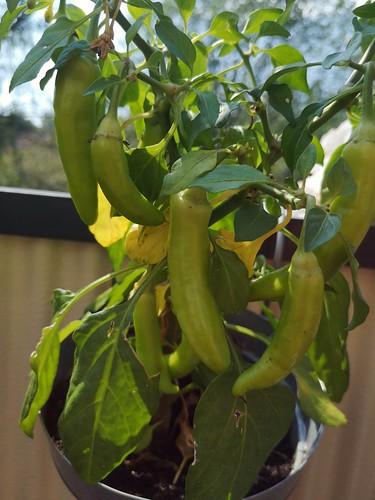 Homegrown chili
