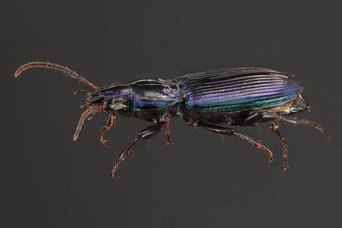 Woodland Ground Beetle - Poecilus scitulus
