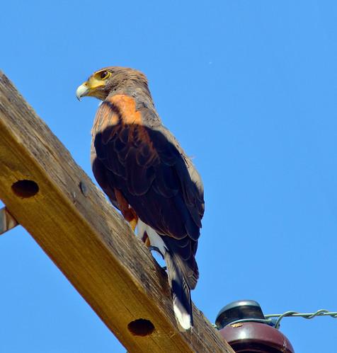 Harris's Hawk (Parabuteo unicinctus); Oro Valley, AZ [Lou Feltz]