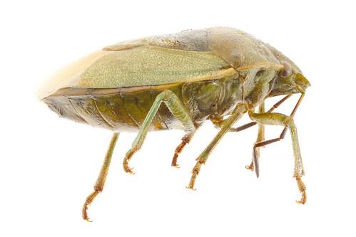 Stink bug (side view) - Thyanta sp.