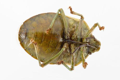 Stink bug (bottom view) - Thyanta sp.