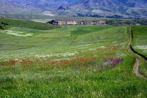 Roadside botanizing: Poppies, larkspur and an Apiaceae in a field, somewhere along the M6 in Lori Province, Armenia