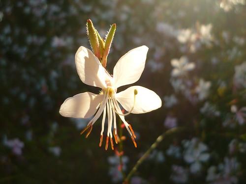 Prachtkerzen-Blüte
