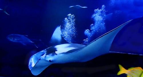 Manta rays: deep, deeper, deepest!