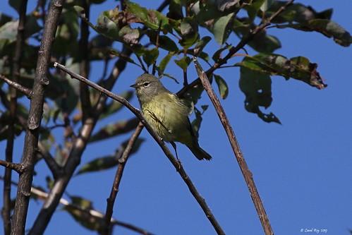 1.27659 Paruline verdâtre / Vermivora celata celata / Orange-crowned Warbler