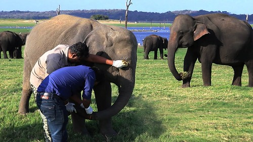 A valiant effort to save a young elephant's trunk from a cable wire trick. Successful!