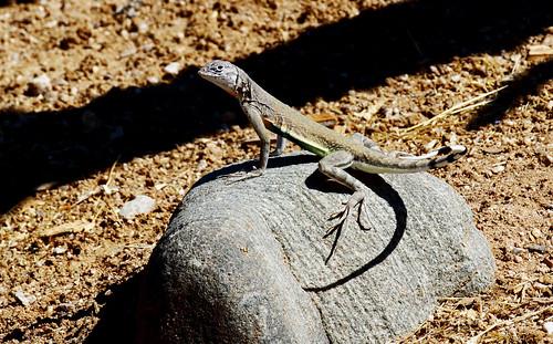 Zebra-tailed Lizard (Callisaurus draconoides); Oro Valley, AZ [Lou Feltz]