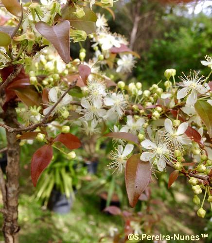 Pitangueira em flor, Flowering Brazil Cherry, Guinda,  Forest Hills, Brazil