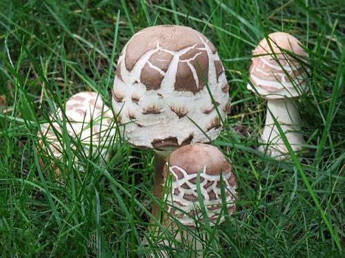 Shaggy parasol / Chlorophyllum (formerly Macrolepiota) rhacodes