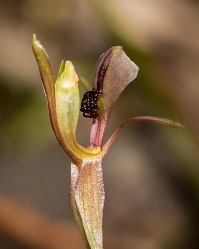 Broad-lip Bird Orchid (Chiloglottis trapeziformis)