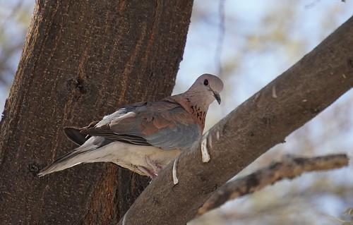 Laughing Dove, Etosha