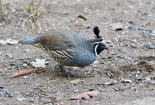 California Quail male 2