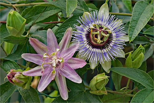Two in one passiflora