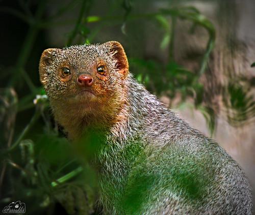 Wild Mongoose, Islamabad
