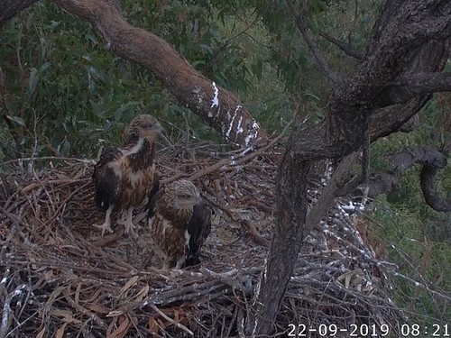 White-bellied Sea Eagle Nest Cam, Sydney, Australia 22-09-2019 Youth