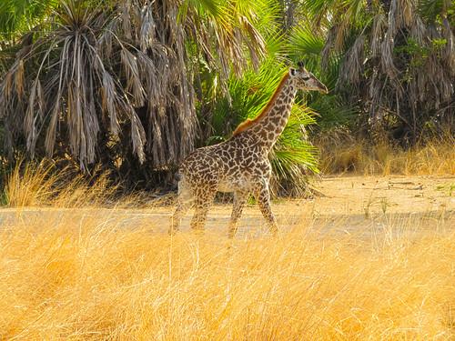 091219 Selous Game Reserve_IMG_1805_Giraffe Baby