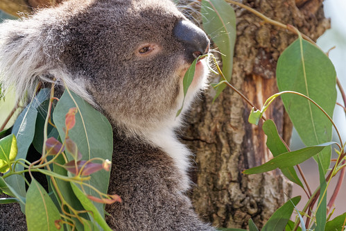 Southern Koala (Phascolarctos cinereus)