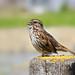 Song Sparrow 1649
