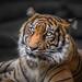 Der Tiger Blick im Licht...