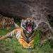 Tiger zeigt seine Zähne im Licht...