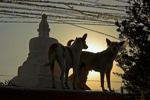 Nepal - Kathmandu - Swayumbunath dogs