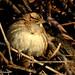 Song Sparrow, John Heinz National Wildlife Refuge