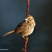 Song Sparrow, One of the Greatest and Earliest Singers of Spring, John Heinz National Wildlife Refuge
