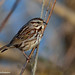 Song Sparrow, Bird of Early Spring and Aptly Named, John Heinz National Wildlife Refuge