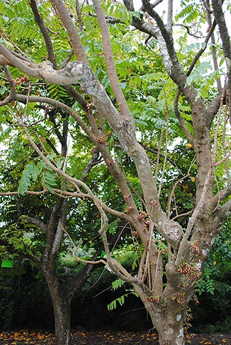 Averrhoa bilimbi... a fascinating tree