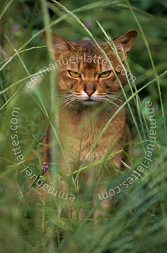 Chat abyssin mâle (Felis catus domesticus) au milieu d'herbes fo