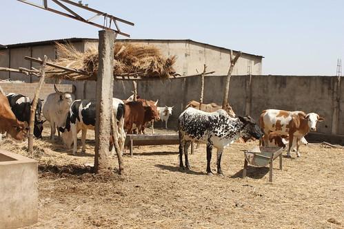 Cross-bred dairy cattle in peri-urban Bamako