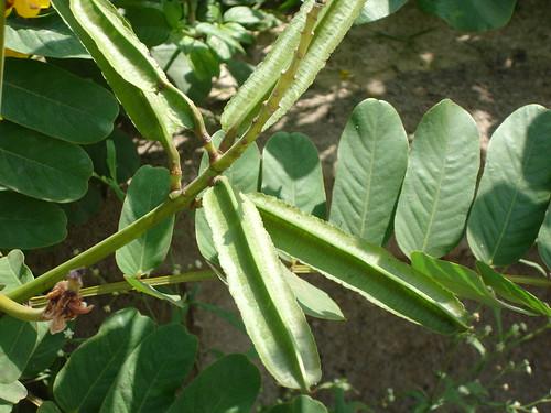 Life Saving Medicinal Plants from Pankaj Oudhia's Medicinal Plant Database-8346