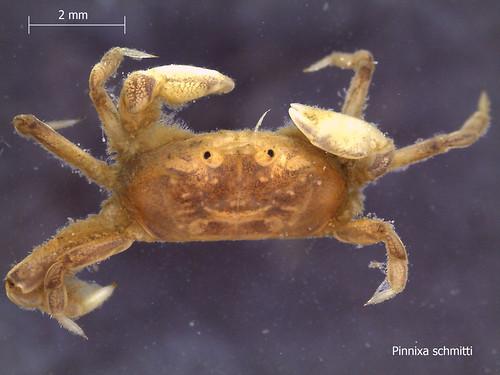Crab - Pinnixa schmitti